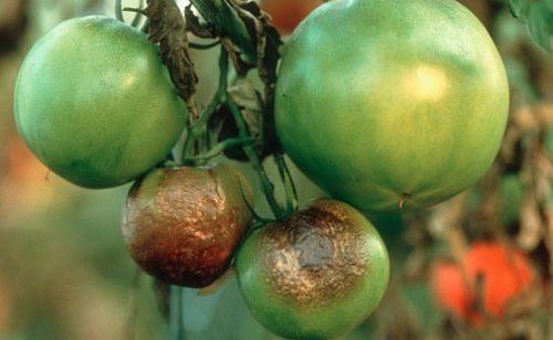 Фитофтороз у томатов