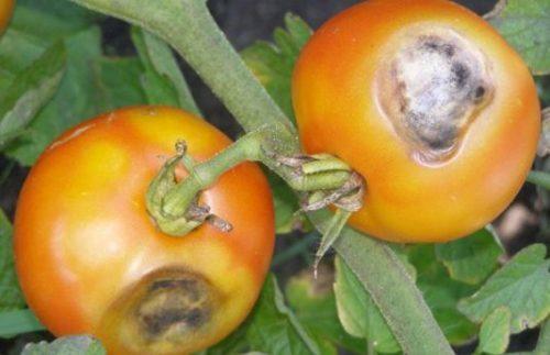 Макроспориоз у томатов