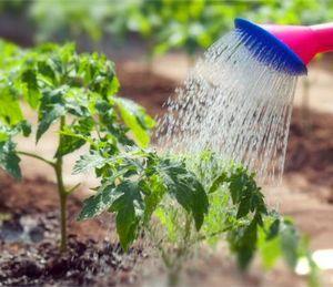 Агротехника помидоров