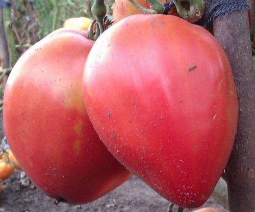 Крупные плоды томата Батяня