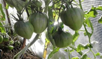 Зеленые помидоры Буденовка