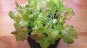 Выращивание салата на подоконнике зимой