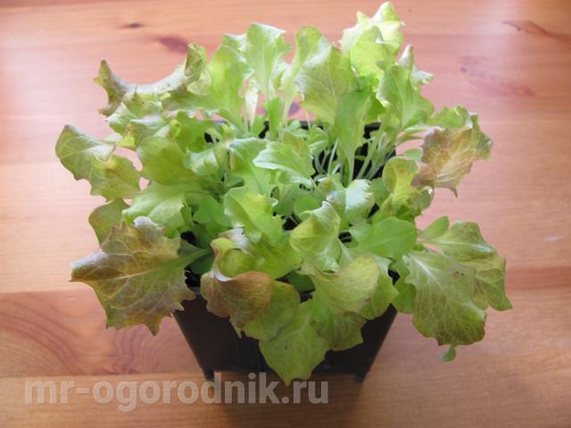 """Зелёный салат сорта """"Лоло Росса"""""""