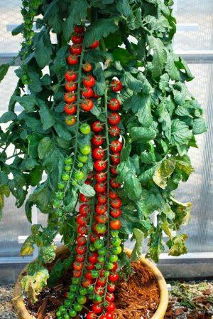 Чудесные кисти томата Рапунцель