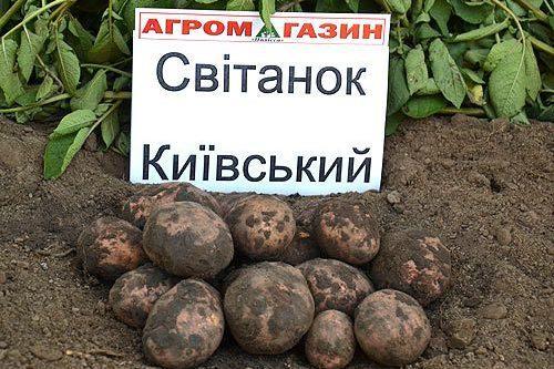 Картофель Свитанок