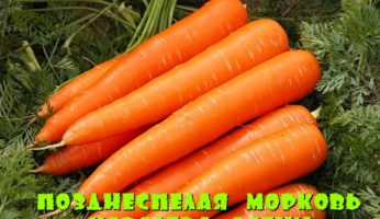 Королева осени - фото моркови