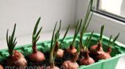 Какую зелень можно вырастить на подоконнике зимой