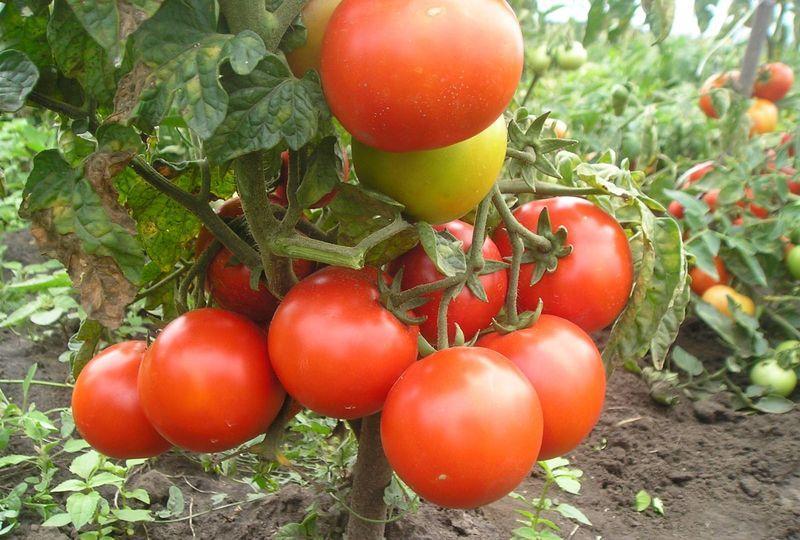 Низкорослые помидоры: лучшие сорта для открытого грунта