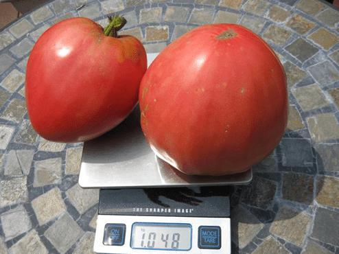 Размер помидоров Розовый мед