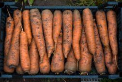 Сорта моркови для хранения