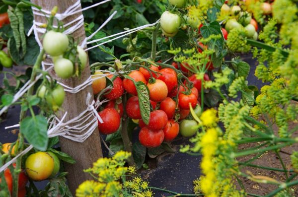 Куст помидоров Дубрава