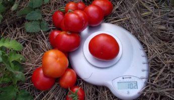 Урожай томата сибирский скороспелый