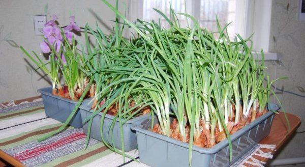 Выращивание лука на зелень дома
