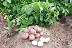Что сажать до и после картошки