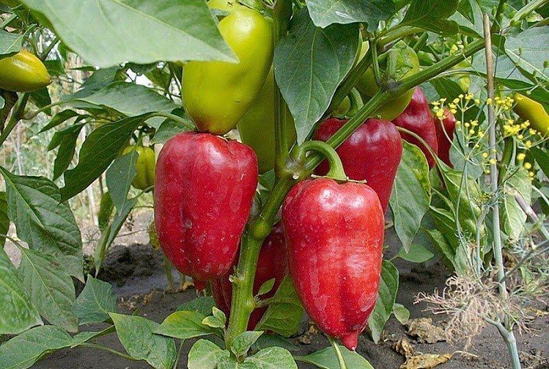 После чего можно сажать помидоры на следующий год: огурцы, перцы, лук, картофель или клубника