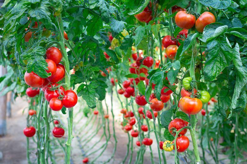 Как подвязать помидоры в теплице
