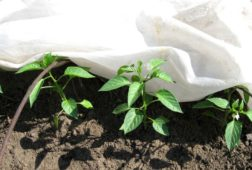 Как уберечь рассаду от заморозков