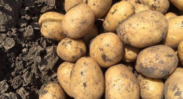 Лучшие сорта картофеля для еды: посадка и уход