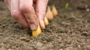Как сажать лук и когда это делать по лунному календарю 2020 года