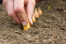 Когда и как сажать лук