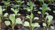 Когда сажать капусту на рассаду в 2019 году по лунному календарю и регионам