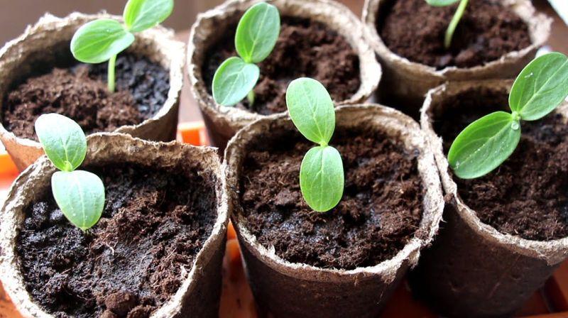 Рассада огурцов выращивание в домашних условиях когда сажать как посеять