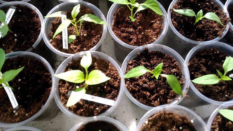 Можно ли сажать перец из своих семян 598