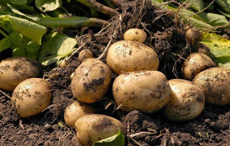 Картошка технология выращивания 74