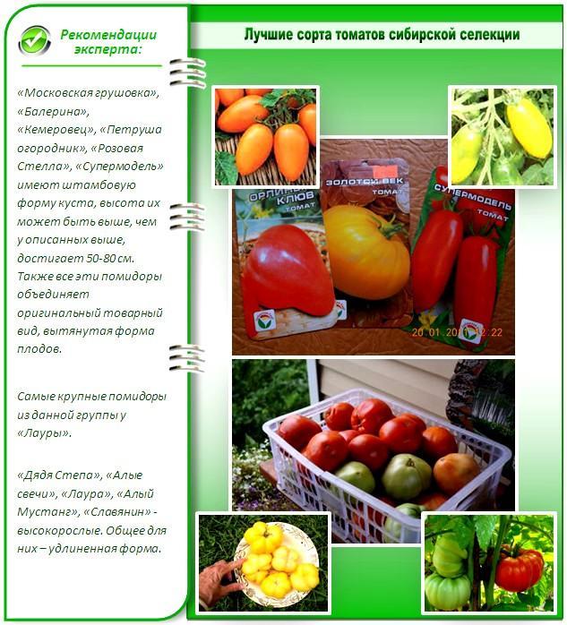 Лучшие сорта помидоров сибирской селекции