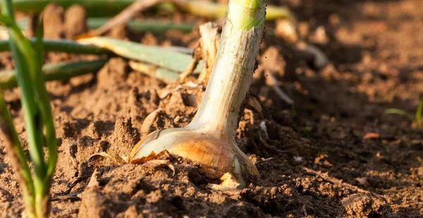 Когда и как сажать лук весной в 2018 году (в различных регионах)