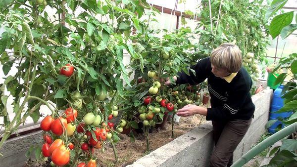 Низкорослые томаты в теплице