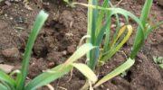 Что делать, если желтеет чеснок на грядке весной