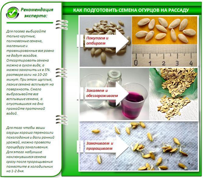 Подготовка огуречных семян на рассаду