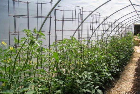 Подвязка томатов - проволочный каркас