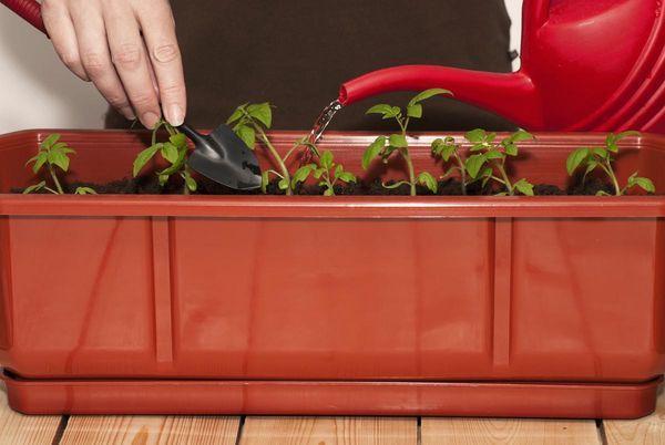 Полив рассады томатов