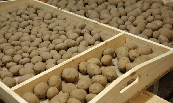 Проращивание картошки в темноте