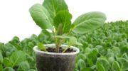Чем подкормить рассаду капусты - препараты и народные средства