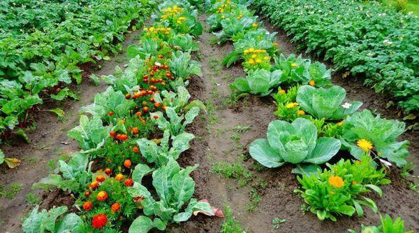 Смешанная посадка овощей на грядке