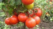Лучшие сорта томатов для открытого грунта на 2018-2019 годы