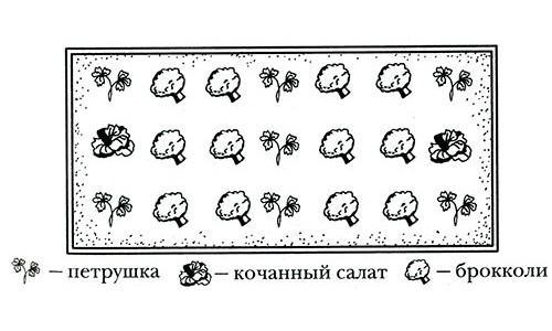 Уплотненная брокколи, салат, петрушка