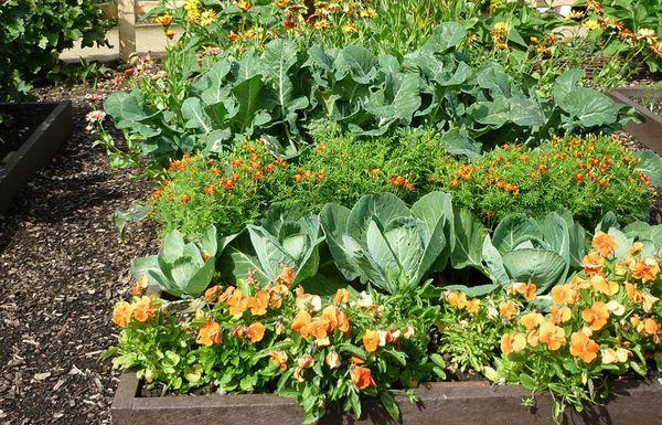 Уплотненная посадка овощей на грядке