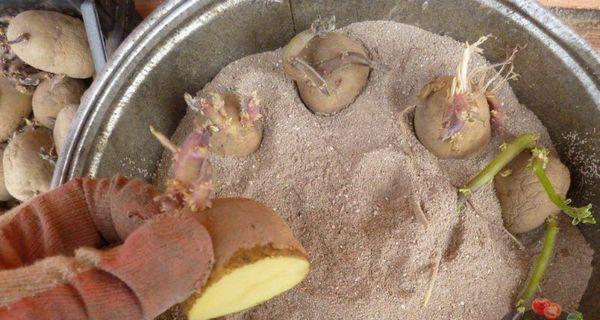 Варианты проращивания посадочного картофеля