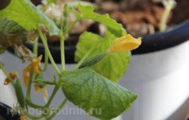 Выращивание огурца на подоконнике