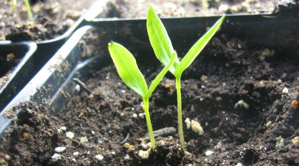 Взошедшие семена перца