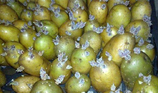 Зеленый картофель с ростками
