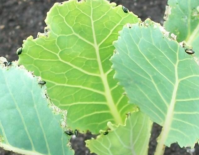 Чем побрызгать капусту от гусениц в домашних условиях 3