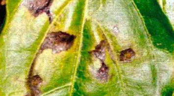 Чёрная бактериальная пятнистость на листе перца