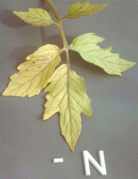 Дефицит азота у томата