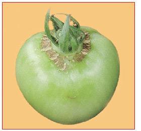 Дефицит бора на плодах томата