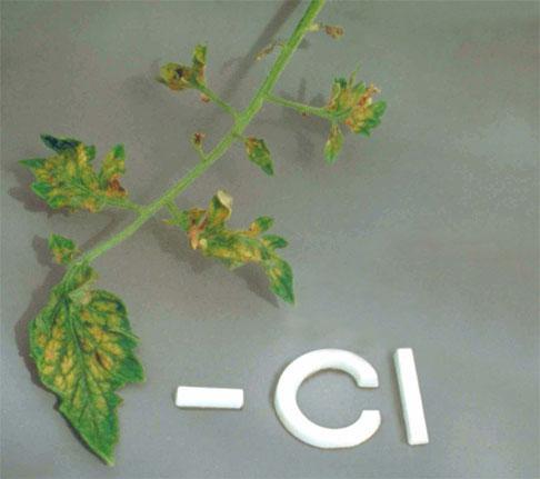 Дефицит хлора у томата